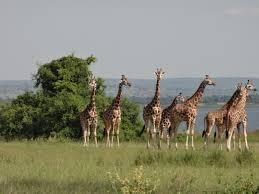 herd giraffe