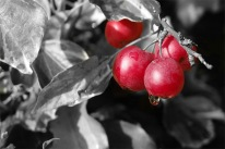 Red_berries