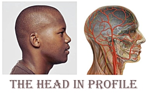 headanatomyprofile